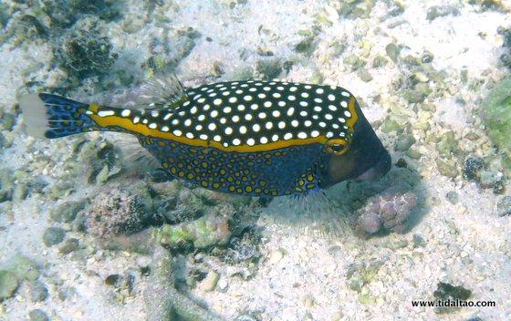 Boxfish - Cute But Deadly